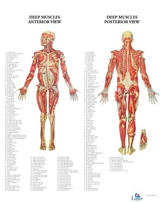 Anatominen juliste: syvät lihakset