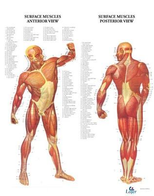 Anatominen juliste: pinnalliset lihakset