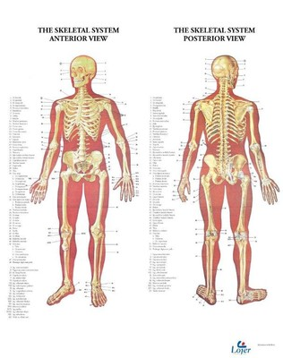 Anatominen juliste: luusto