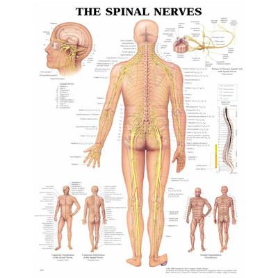 Iso kartta: Spinaali hermot