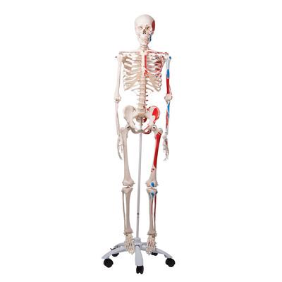 Helskelett med påmålade muskler inkl stativ