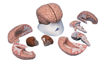 Hjärna, delbar i 8 delar