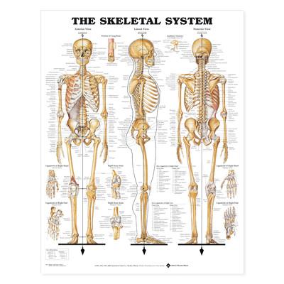 Iso anatominen kartta: Luusto