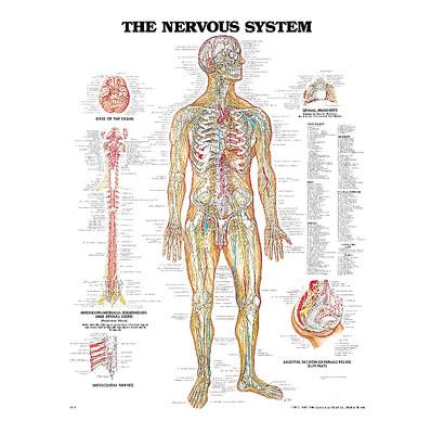 Iso anatominen kartta: hermot