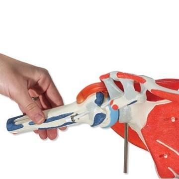 Axelled med avtagbara muskler