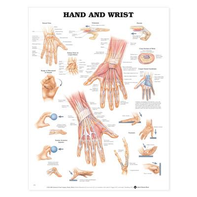 Iso anatominen kartta: Käsi ja rann