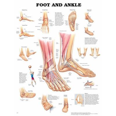 Anatomisk plansje fot/ankel
