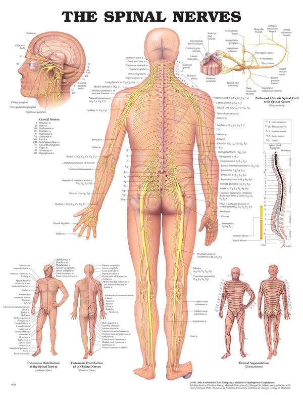 Anatomisk plansje spinal nervesytem