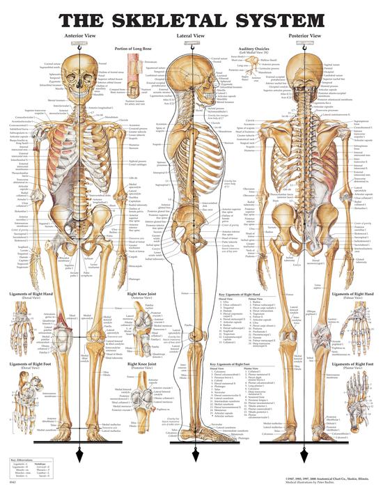 Anatomisk plansje skjelett