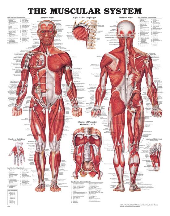 Iso anatominen juliste: Lihakset
