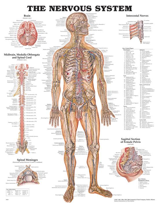 Anatomisk plansje nervessytem