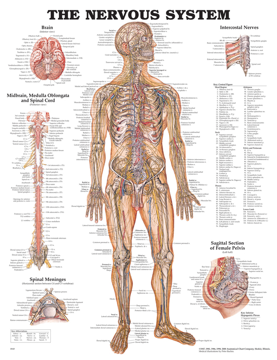 Anatomisk Plansch Nerver