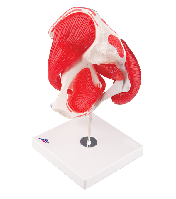 Höftled med avtagbara muskler