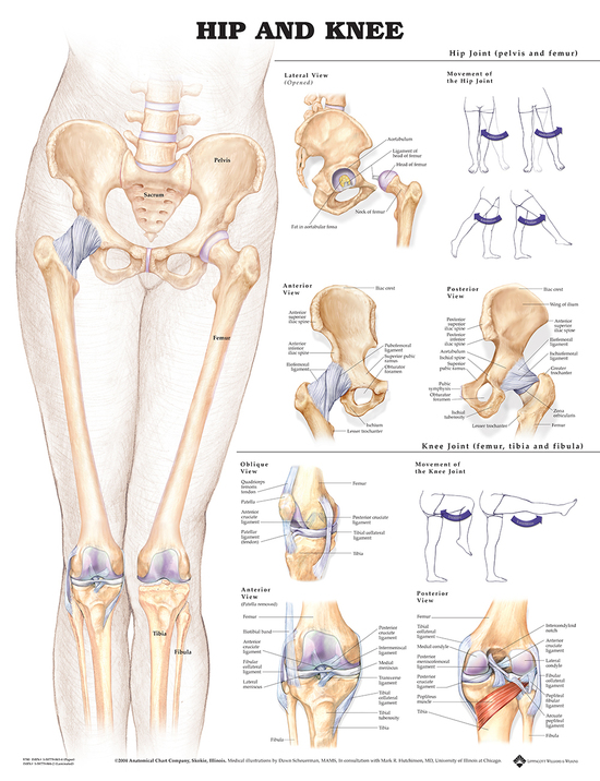Anatomisk plansje hofte/kne