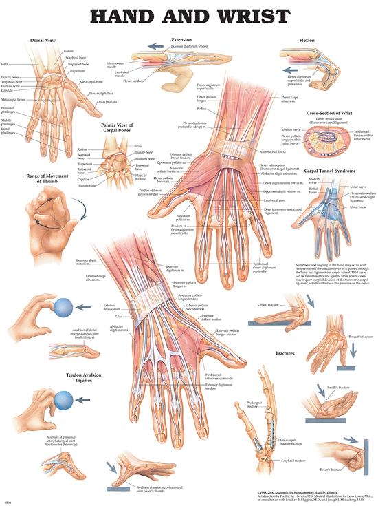 Anatomisk plansje hånd/håndledd