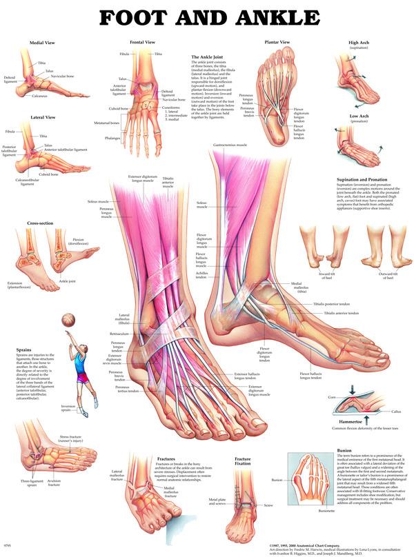 Anatomisk Plansch Fot/Ankel
