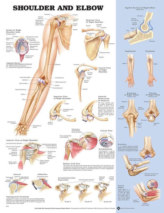 Iso anatominen juliste: Olkapää ja kyynärpää