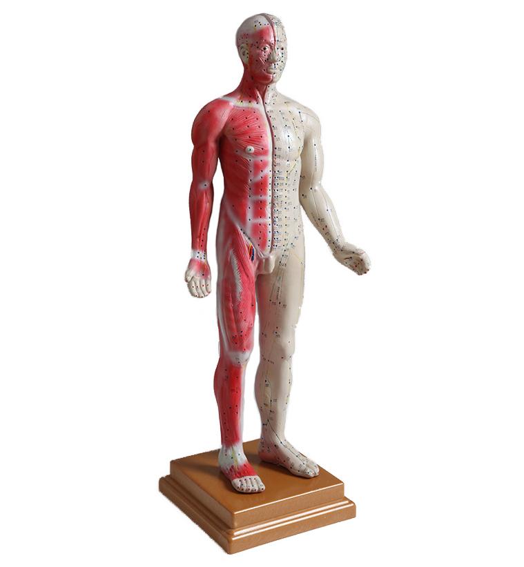 Akupunktur/Muskelmodell Man, 84 cm